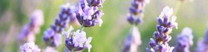 Lavender flowers as background